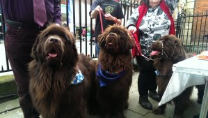 Arche - chocolate  Newfoundland and his friends are training to become companion dogs for soldiers suffering from PTSD