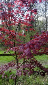 Japanese Maple in the Autumn Gardens