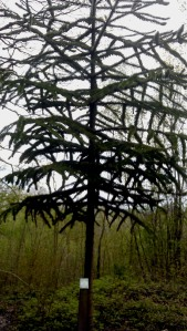 A unique tree from Chile known as Monkey Puzzle