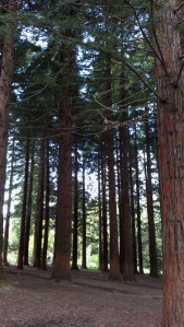 Redwood trees can grow up to 100 meters