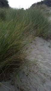 Thick grass growing on sand dunes - it is so sharp that it will cut through your skin