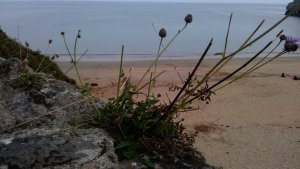 We don't know the name of this plant but it is very popular around the beach. Anybody knows what it is?