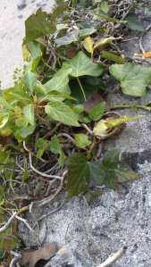 Barafundle Bay is known for its  diverse flora - poison ivy is a common sight growing among the rocks