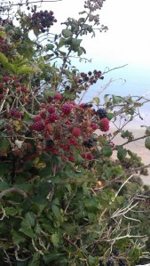 Wild blackberry bush growing near the steps to the beach