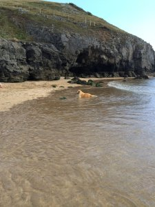 Another beach and another Labrador swimming