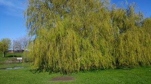 The solitary Weeping Willow